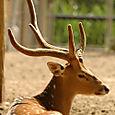 Zoo_ciervo